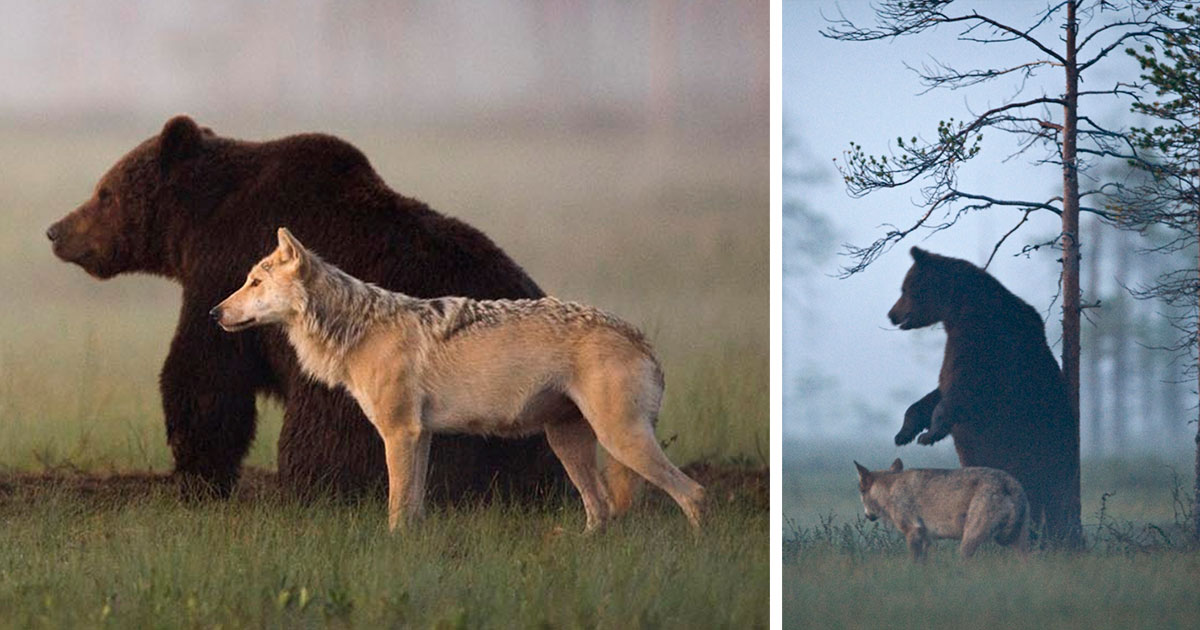 Ours et loup