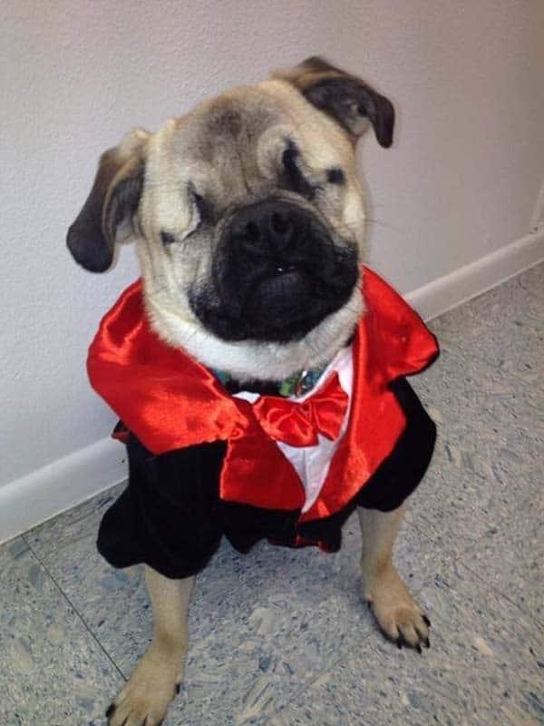 Pug Service Dog Vest