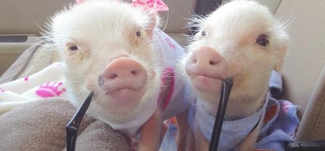 24 raisons pour lesquelles vous avez besoin d 39 un cochon nain dans votre vie - Papa cochon a la piscine ...