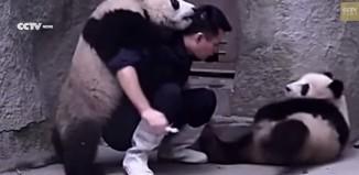 L'éternuement d'un bébé panda qui a retenti autour du monde