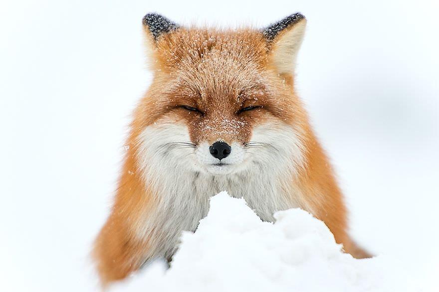 Renards arctique 1