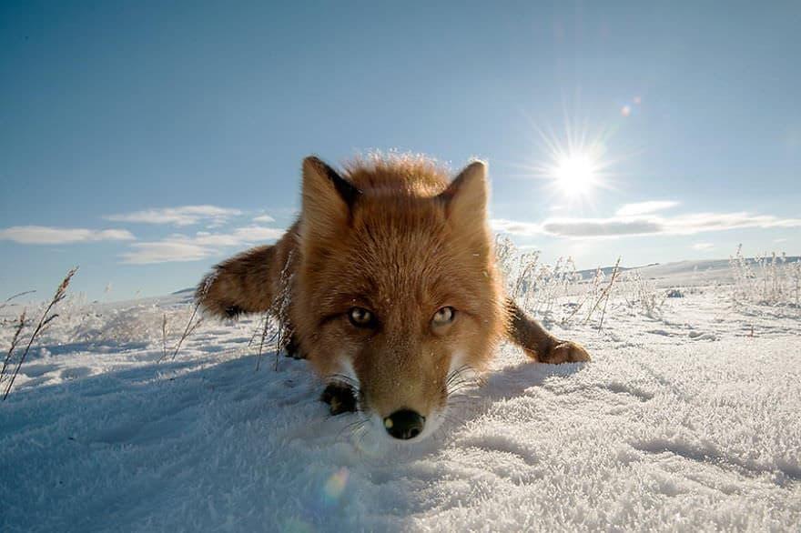 Renards arctique 14