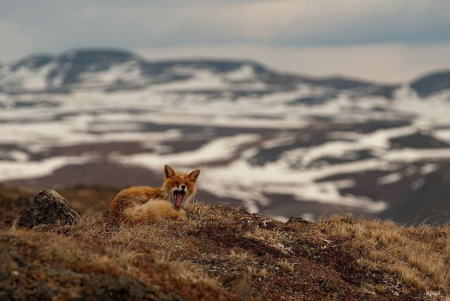 Renards arctique 15
