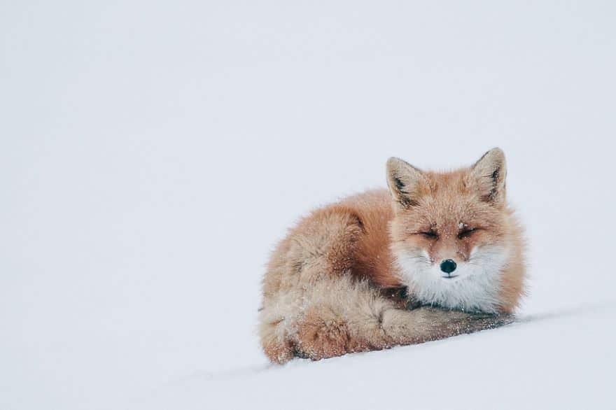 Renards arctique 18