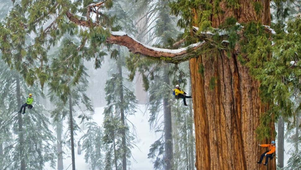 arbre le plus grand du monde 1