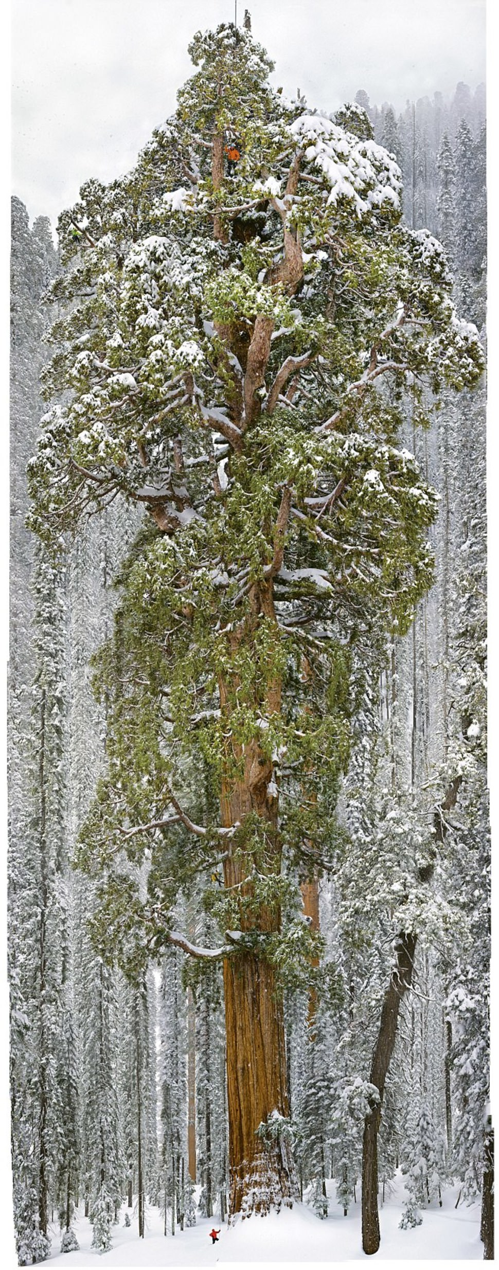 arbre le plus grand du monde 8