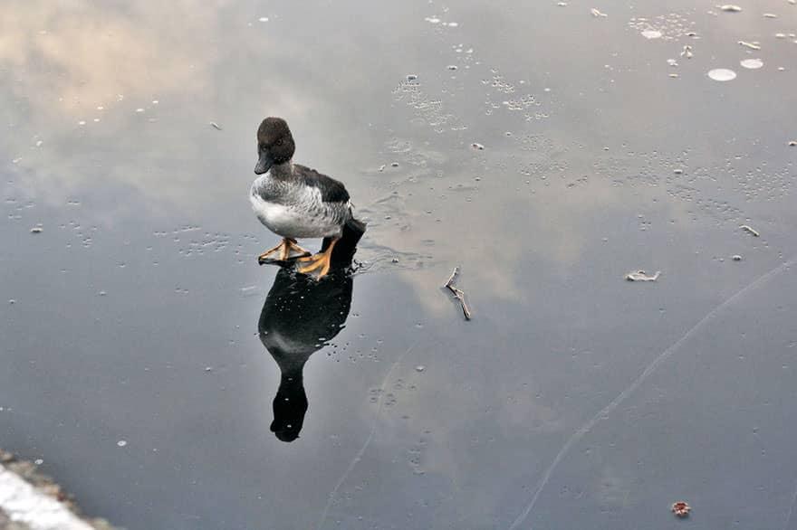 canard sauve lac gele 1