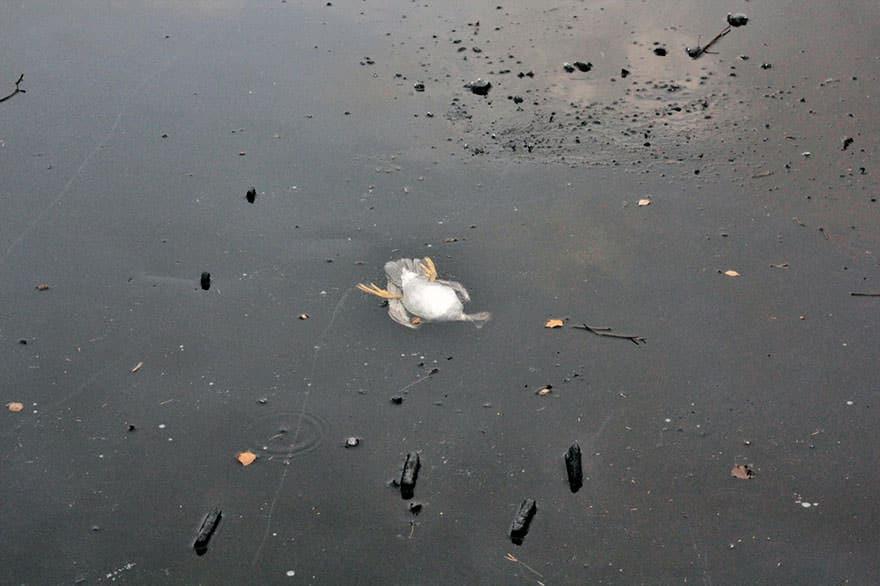 canard sauve lac gele 2