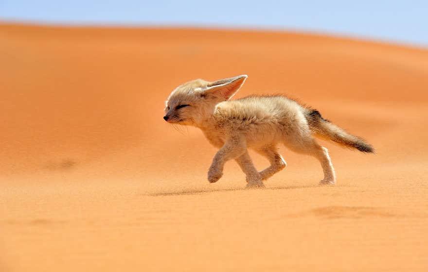 Especes de renard 1