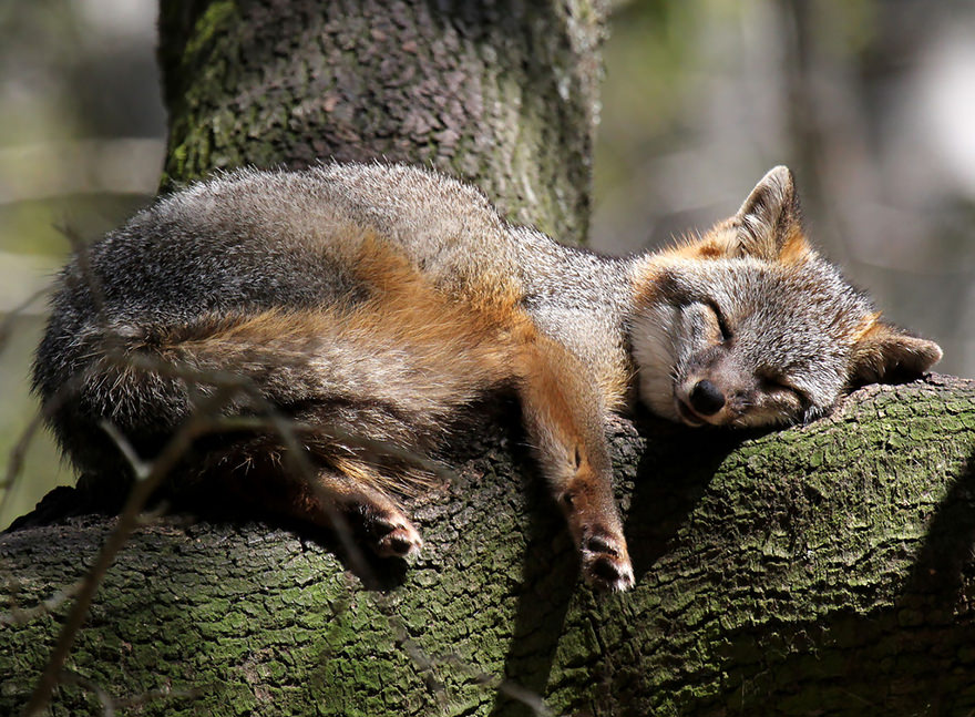 especes de renard 10