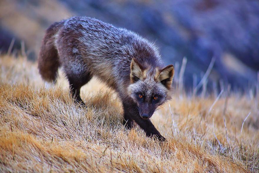 especes de renard 12