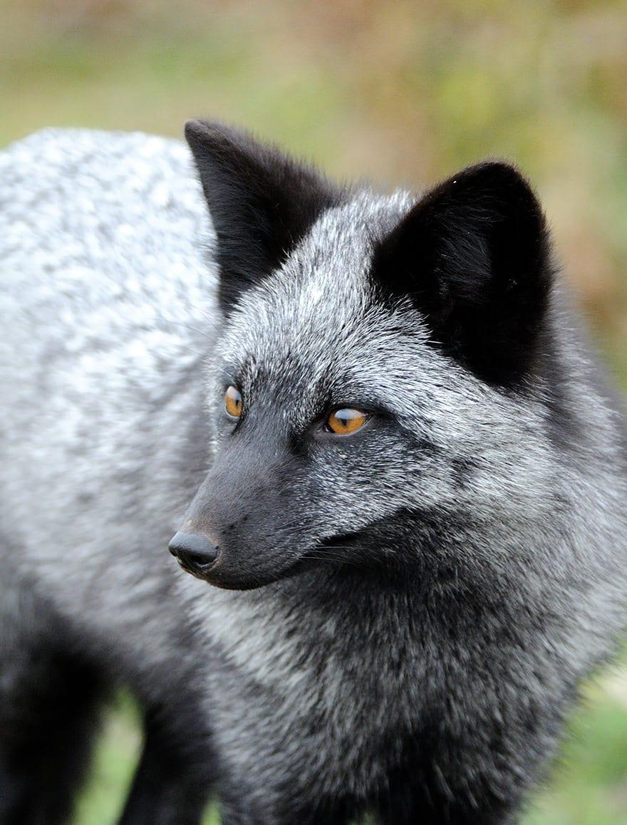 Especes de renard 13