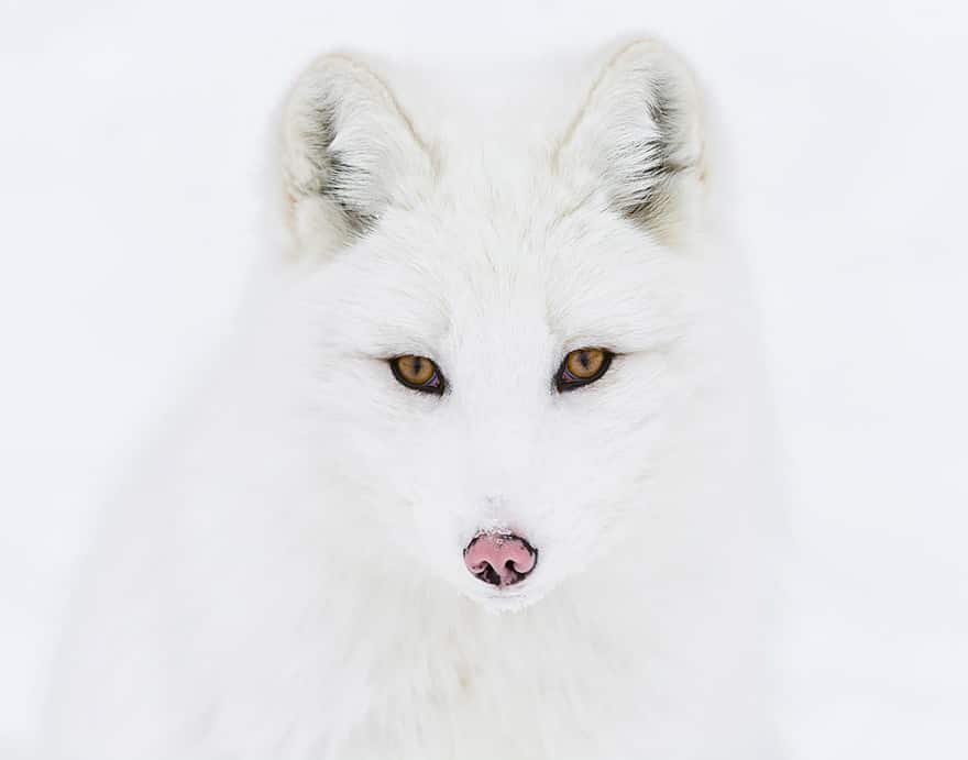 Especes de renard 14