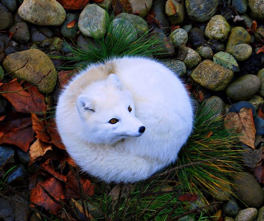 Especes de renard 15
