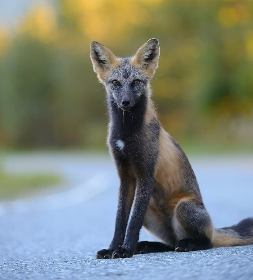 Especes de renard 19