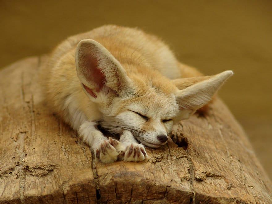 especes de renard 2