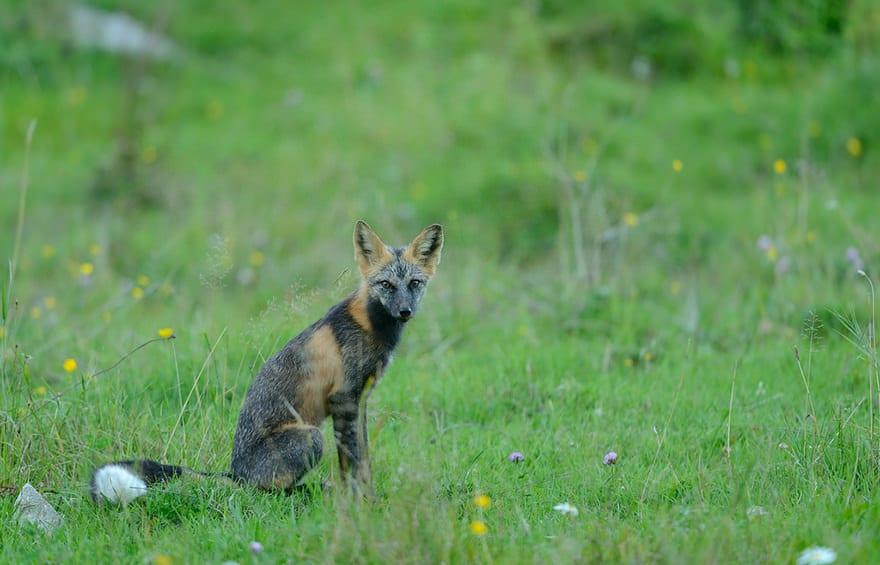 especes de renard 20