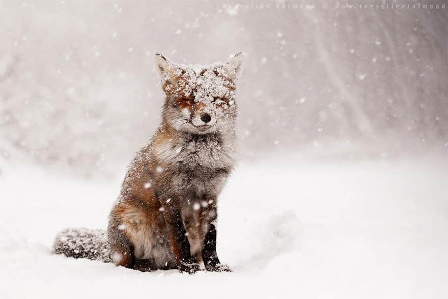 especes de renard 3