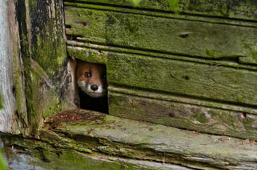 especes de renard 4