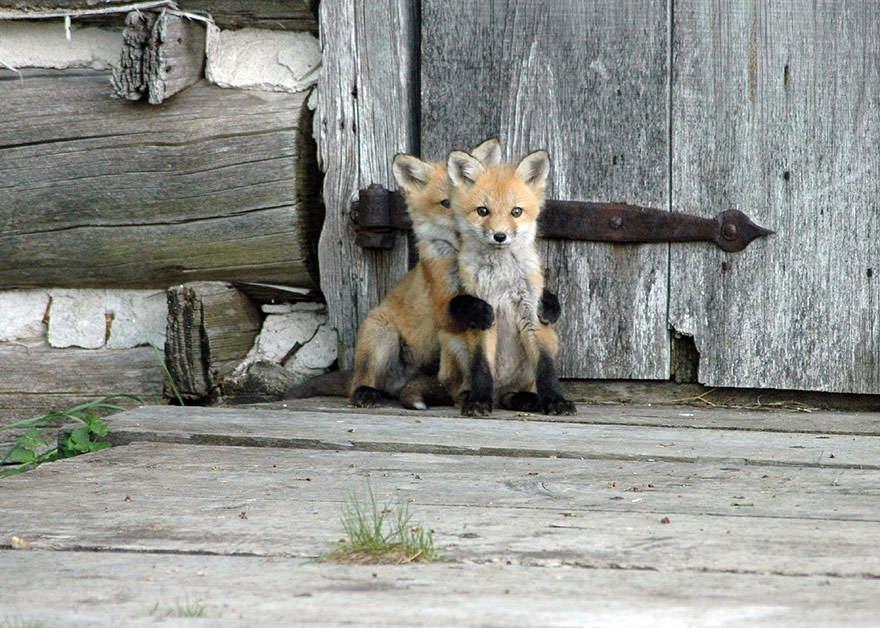 especes de renard 5