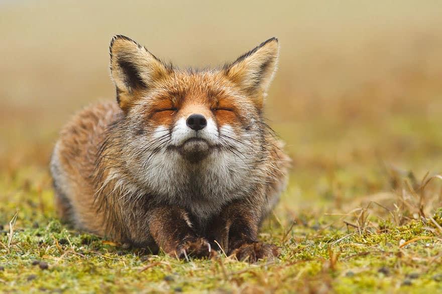 Especes de renard 6