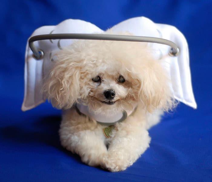 halo chien aveugle 1