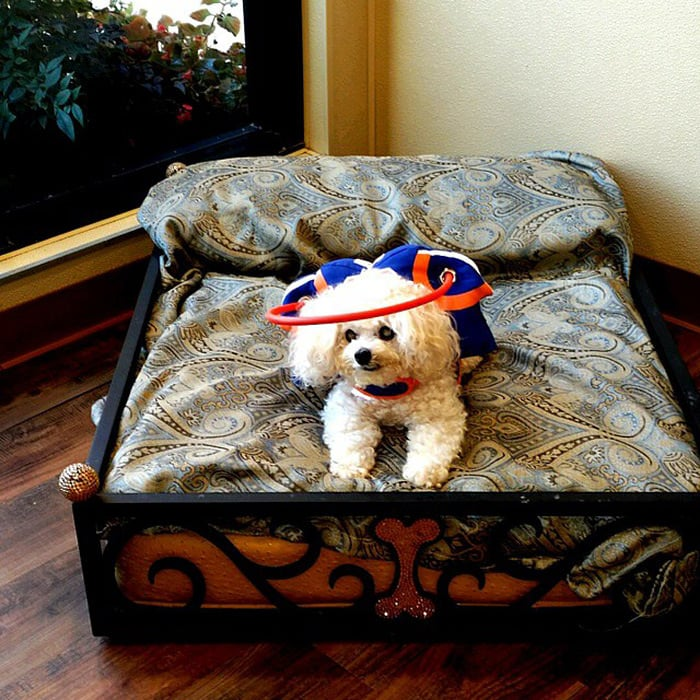 halo chien aveugle 11