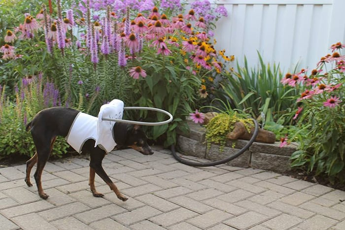 halo chien aveugle 14