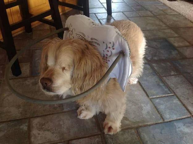 halo chien aveugle 16