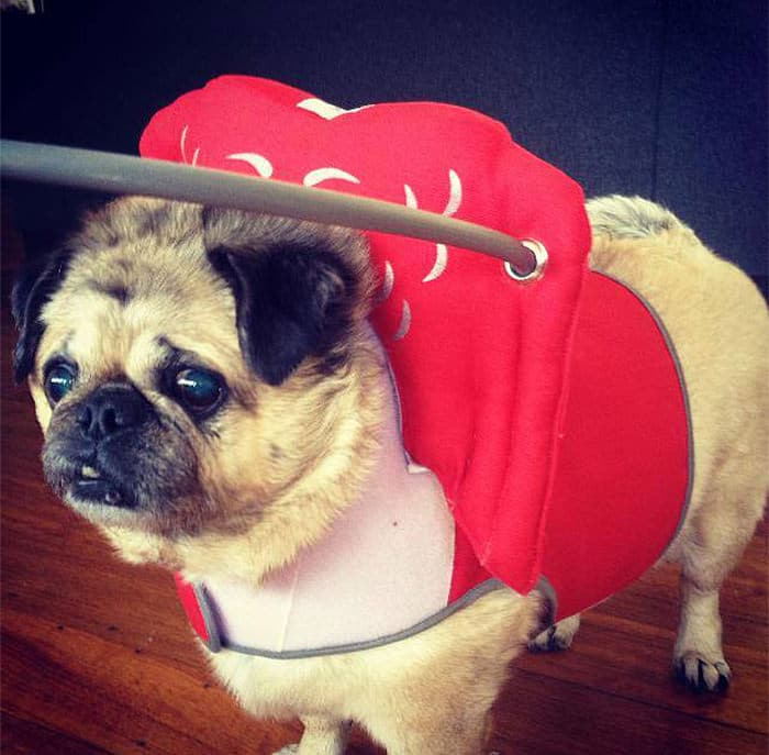 halo chien aveugle 6
