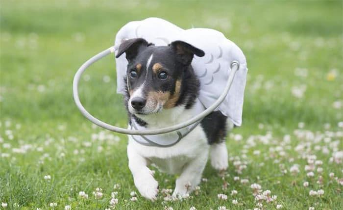 halo chien aveugle 8