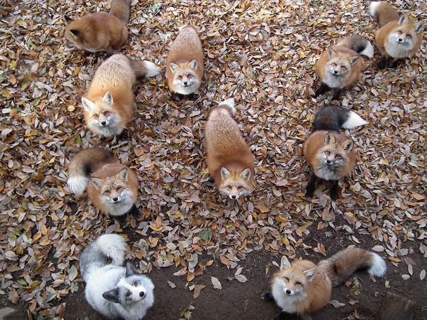 Fox village 1