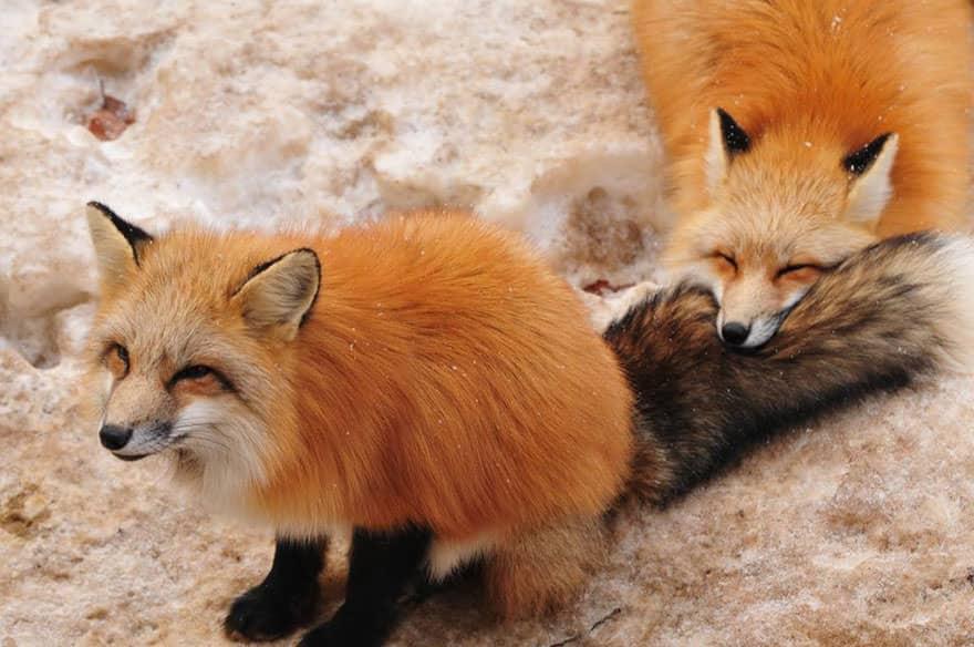 Fox village 10