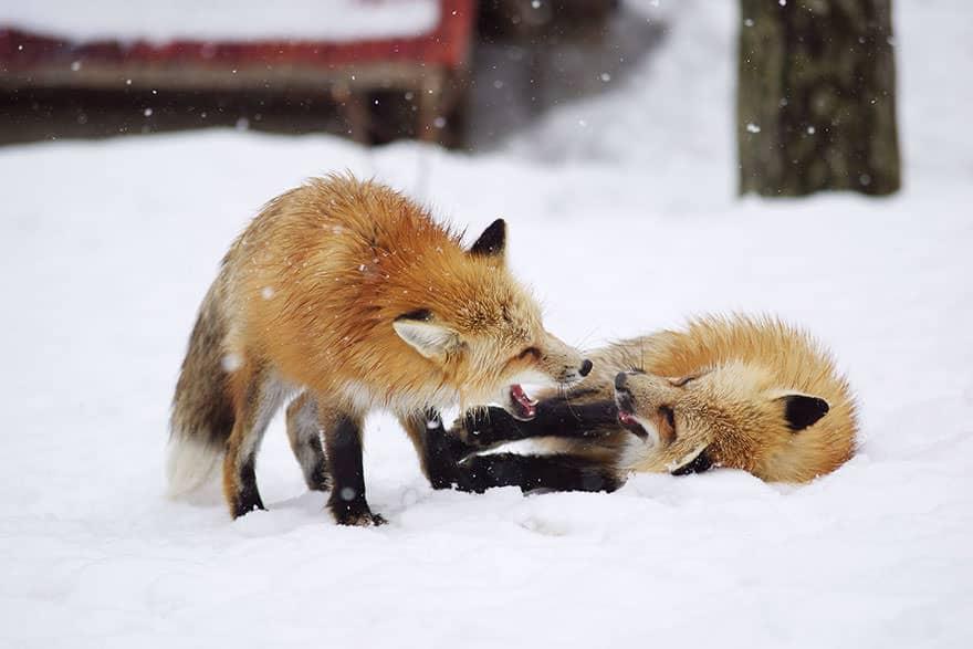 Fox village 14