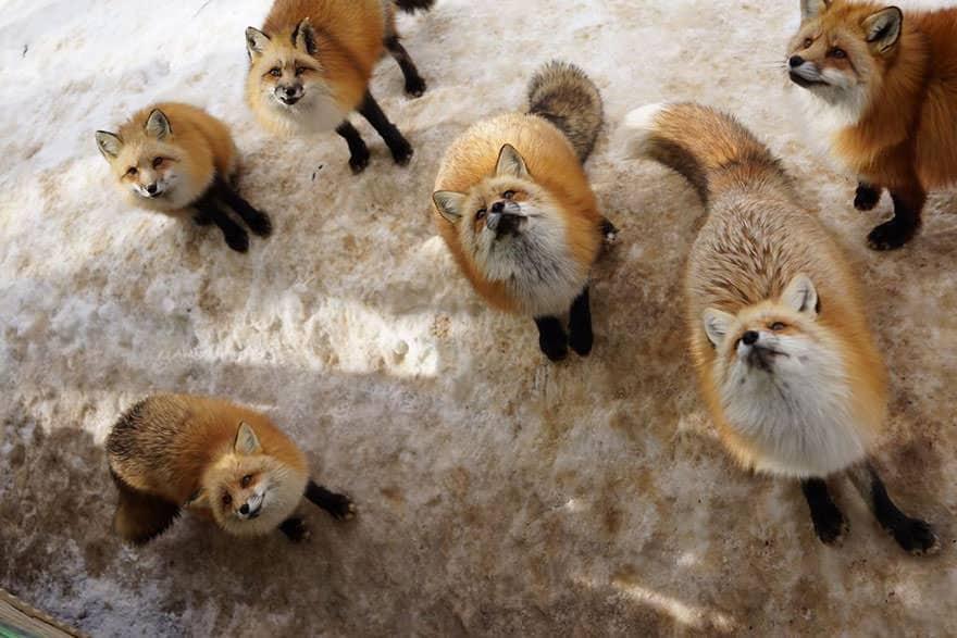 Fox village 16