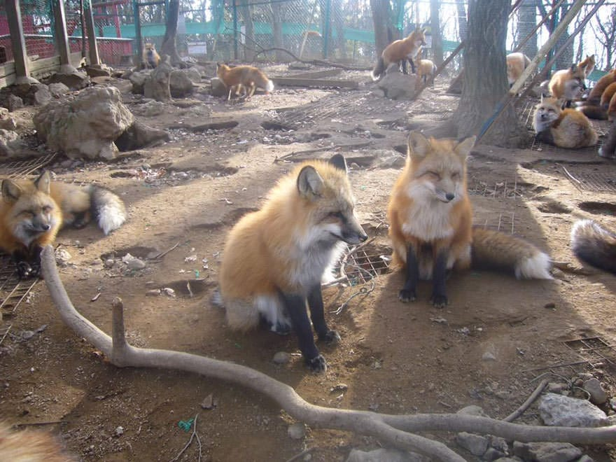 Fox village 19