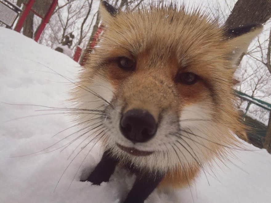 Fox village 20