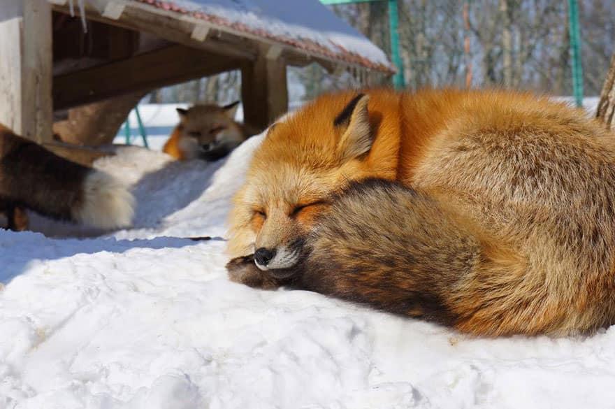 Fox village 23