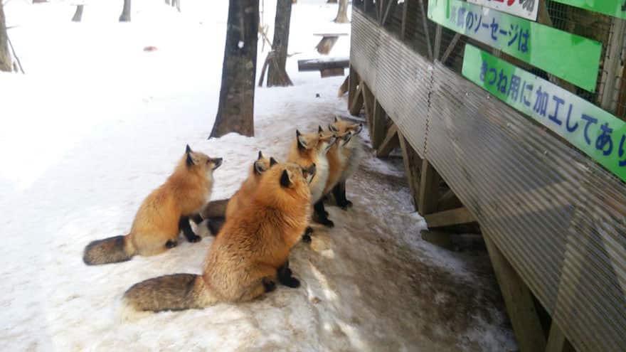 Fox village 25