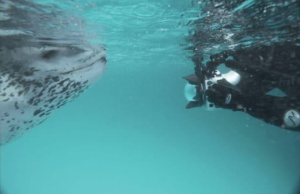 Leopard des mers 6
