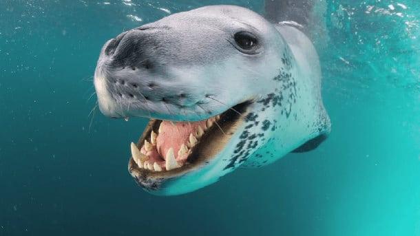 Leopard des mers 8