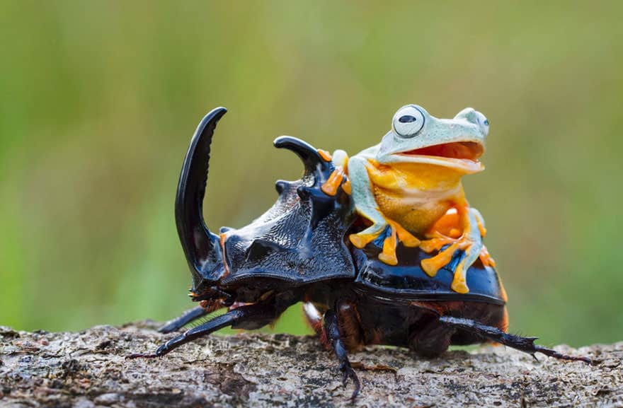 Rodeo grenouille 5