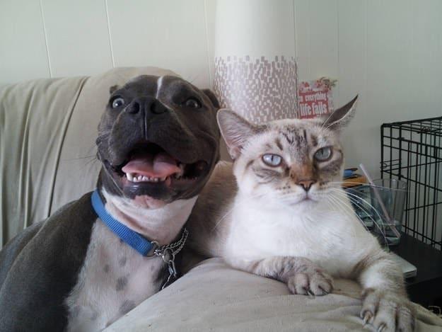 Adopter un pitbull 10
