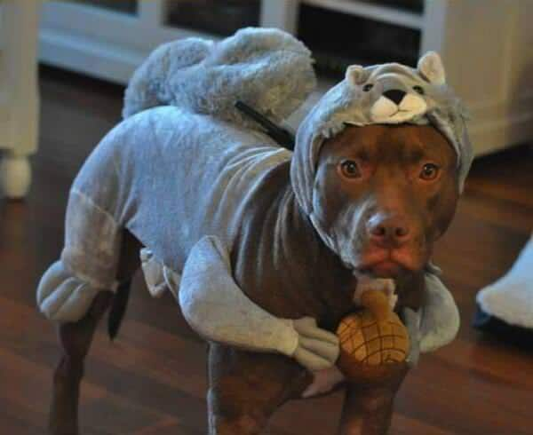 Adopter un pitbull 12