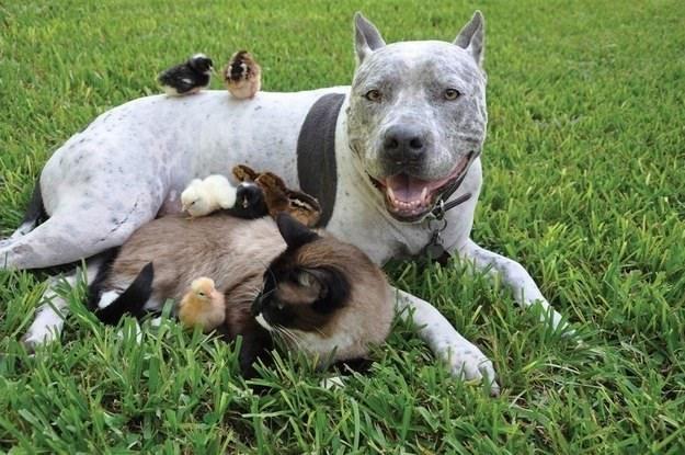 Adopter un pitbull 17