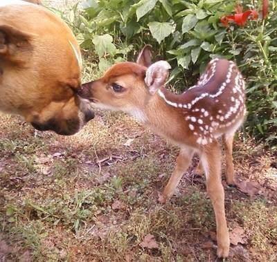 Adopter un pitbull 18