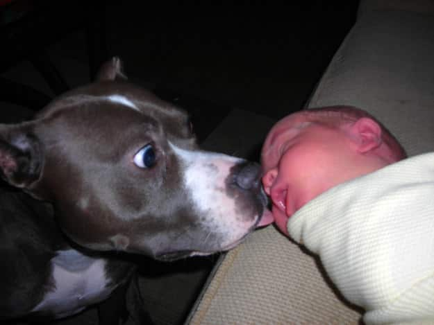 Adopter un pitbull 4
