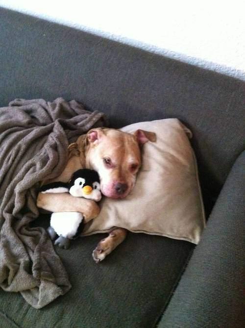 Adopter un pitbull 6