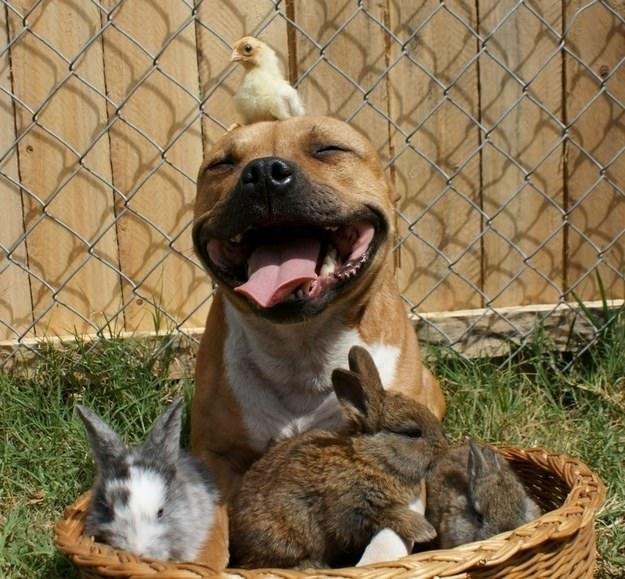 Adopter un pitbull 9