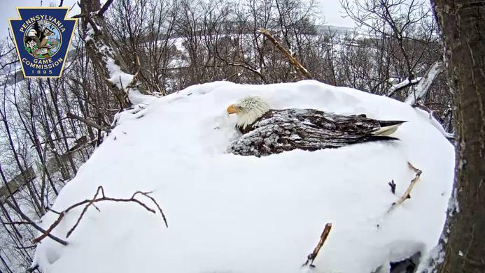 Aigle a tete blanche 2